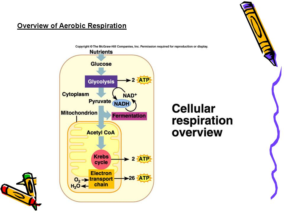 Overview of Aerobic Respiration