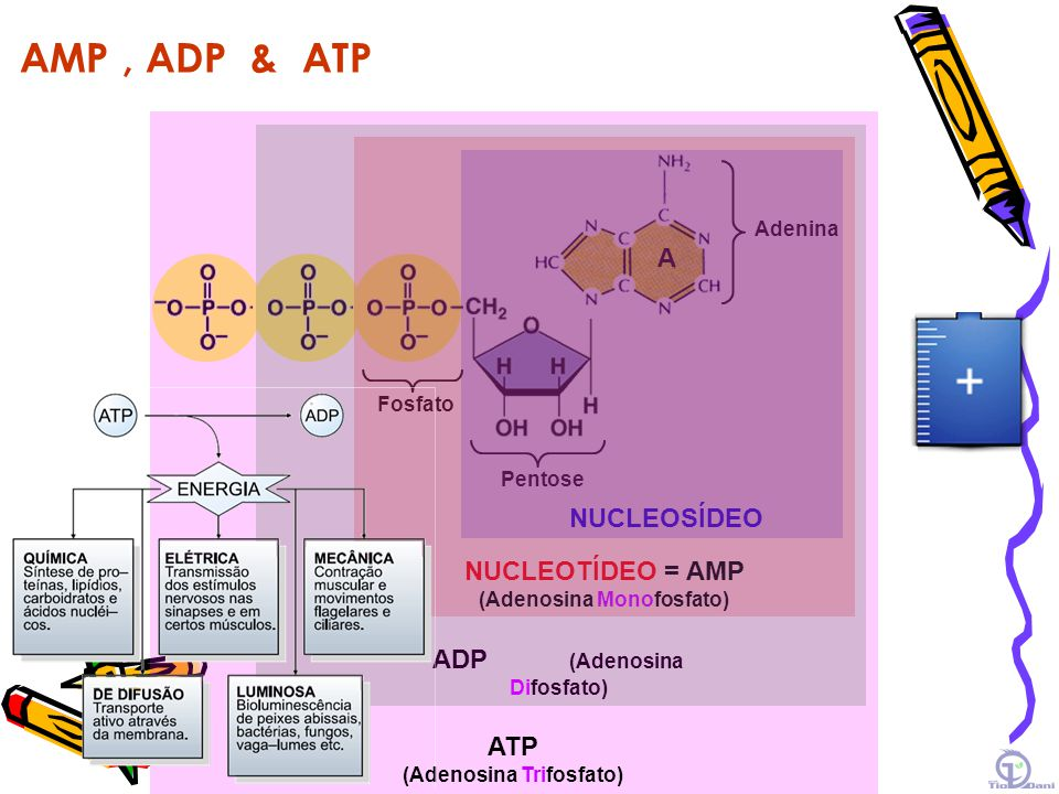 AMP , ADP & ATP A NUCLEOSÍDEO