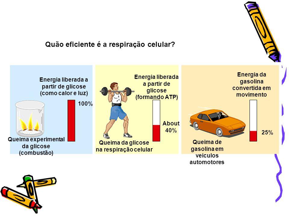 Quão eficiente é a respiração celular