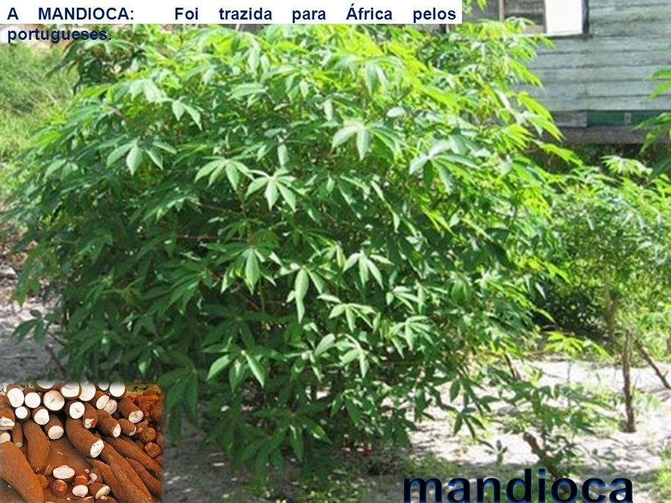 A MANDIOCA: Foi trazida para África pelos portugueses.