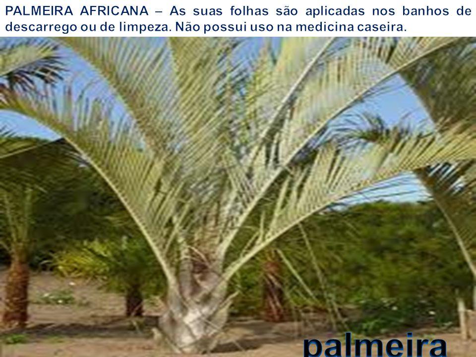 PALMEIRA AFRICANA – As suas folhas são aplicadas nos banhos de descarrego ou de limpeza. Não possui uso na medicina caseira.