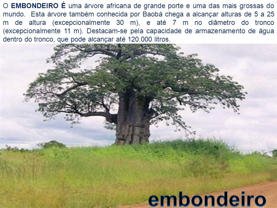 O EMBONDEIRO É uma árvore africana de grande porte e uma das mais grossas do mundo. Esta árvore também conhecida por Baobá chega a alcançar alturas de 5 a 25 m de altura (excepcionalmente 30 m), e até 7 m no diâmetro do tronco (excepcionalmente 11 m). Destacam-se pela capacidade de armazenamento de água dentro do tronco, que pode alcançar até 120.000 litros.