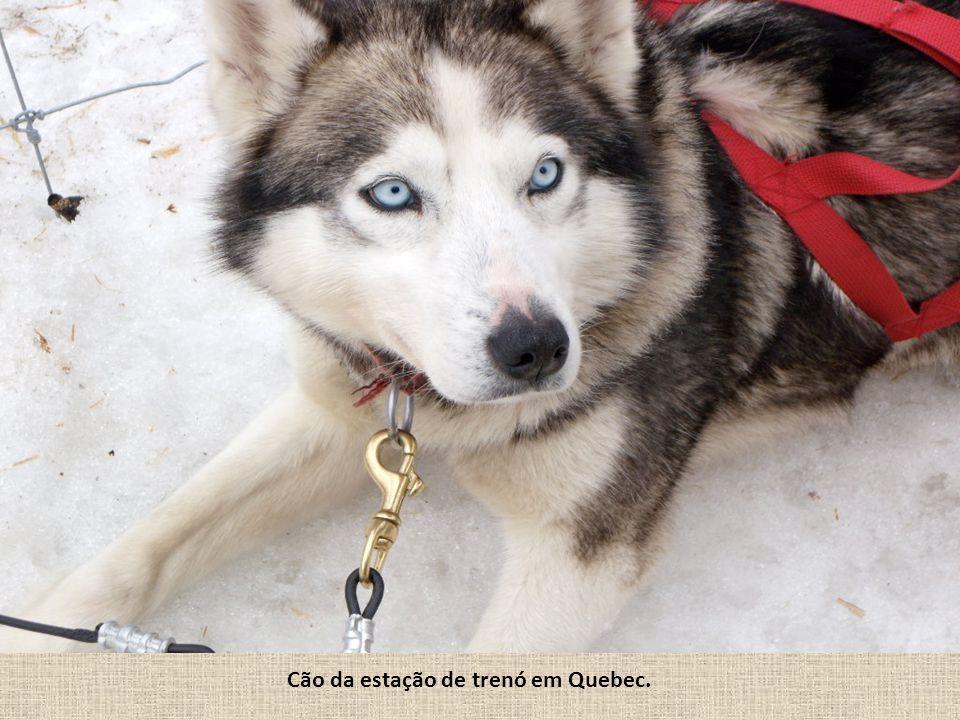Cão da estação de trenó em Quebec.