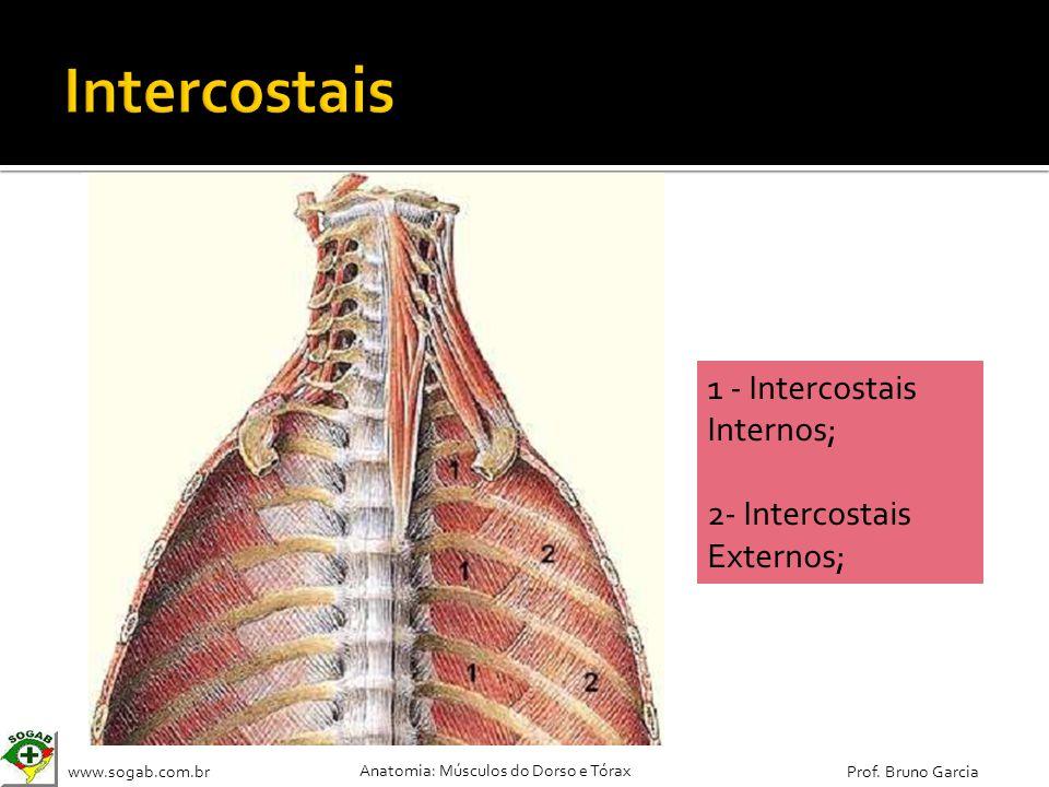 Intercostais 1 - Intercostais Internos; 2- Intercostais Externos;