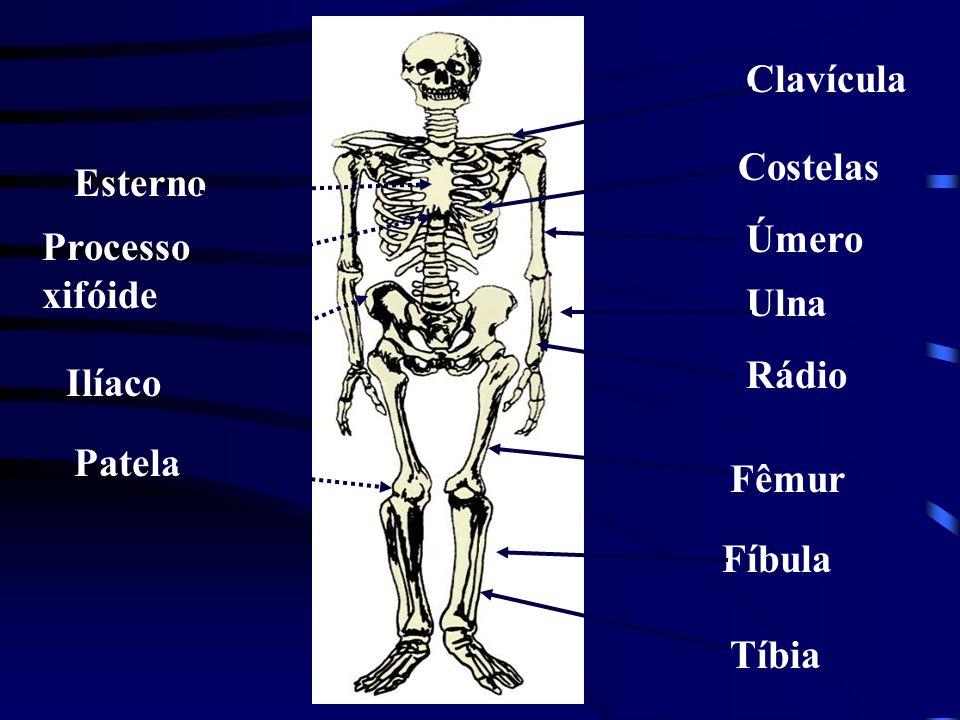 Clavícula Costelas Úmero Ulna Rádio Fêmur Fíbula Tíbia Esterno Processo xifóide Ilíaco Patela