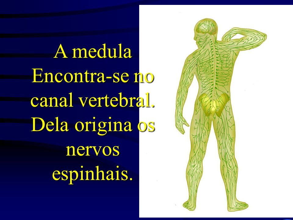 A medula Encontra-se no canal vertebral