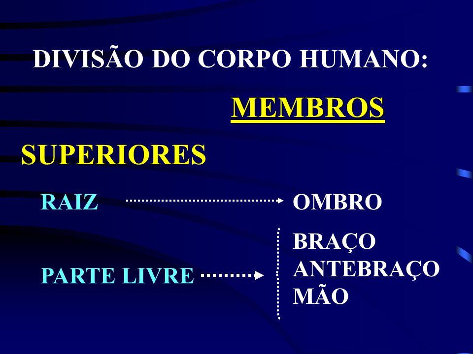 MEMBROS SUPERIORES DIVISÃO DO CORPO HUMANO: RAIZ OMBRO BRAÇO ANTEBRAÇO