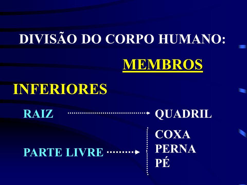MEMBROS INFERIORES DIVISÃO DO CORPO HUMANO: RAIZ QUADRIL COXA PERNA PÉ