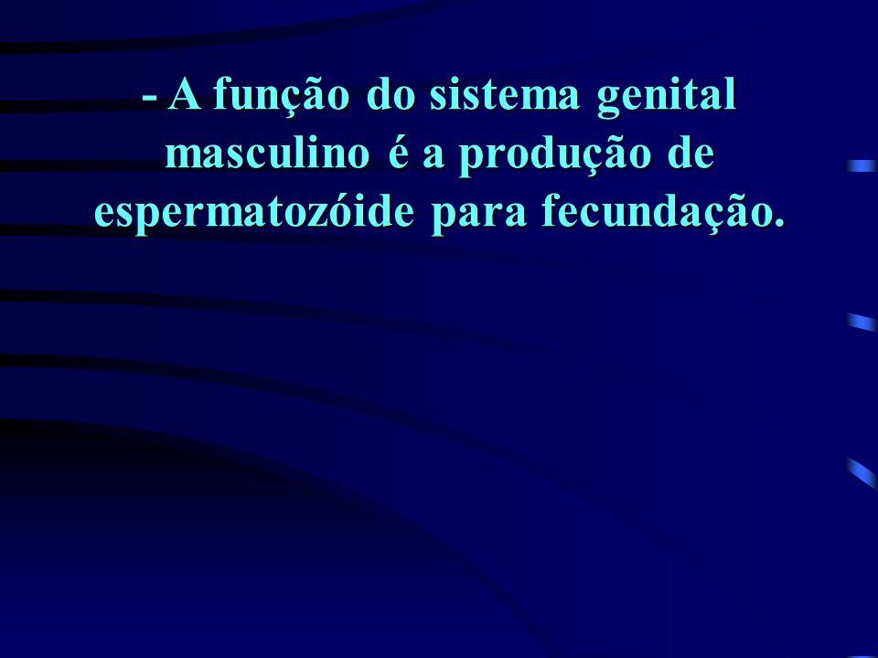 - A função do sistema genital masculino é a produção de espermatozóide para fecundação.