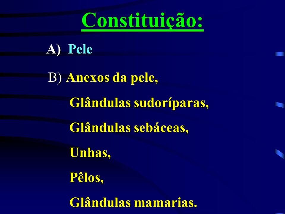 Constituição: B) Anexos da pele, A) Pele Glândulas sudoríparas,