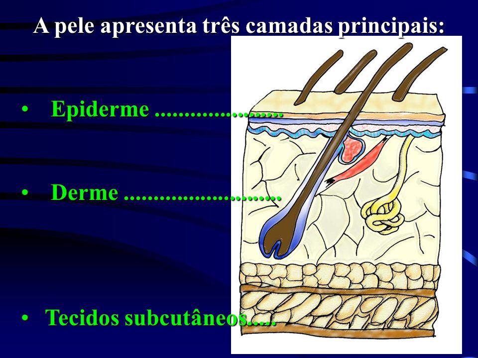 A pele apresenta três camadas principais: