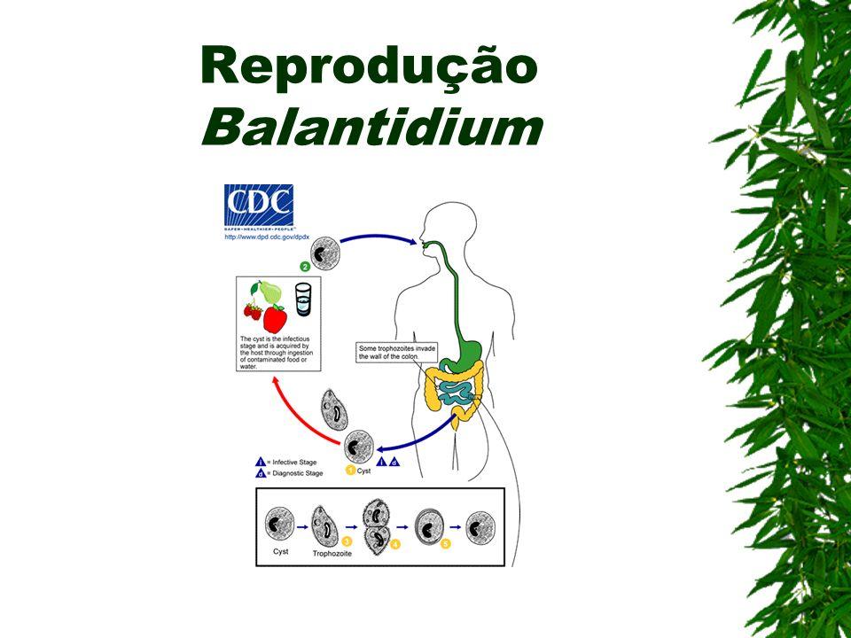 Reprodução Balantidium