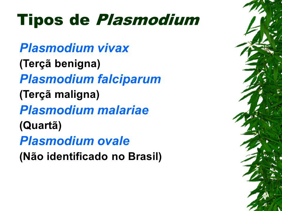 Tipos de Plasmodium Plasmodium vivax Plasmodium falciparum