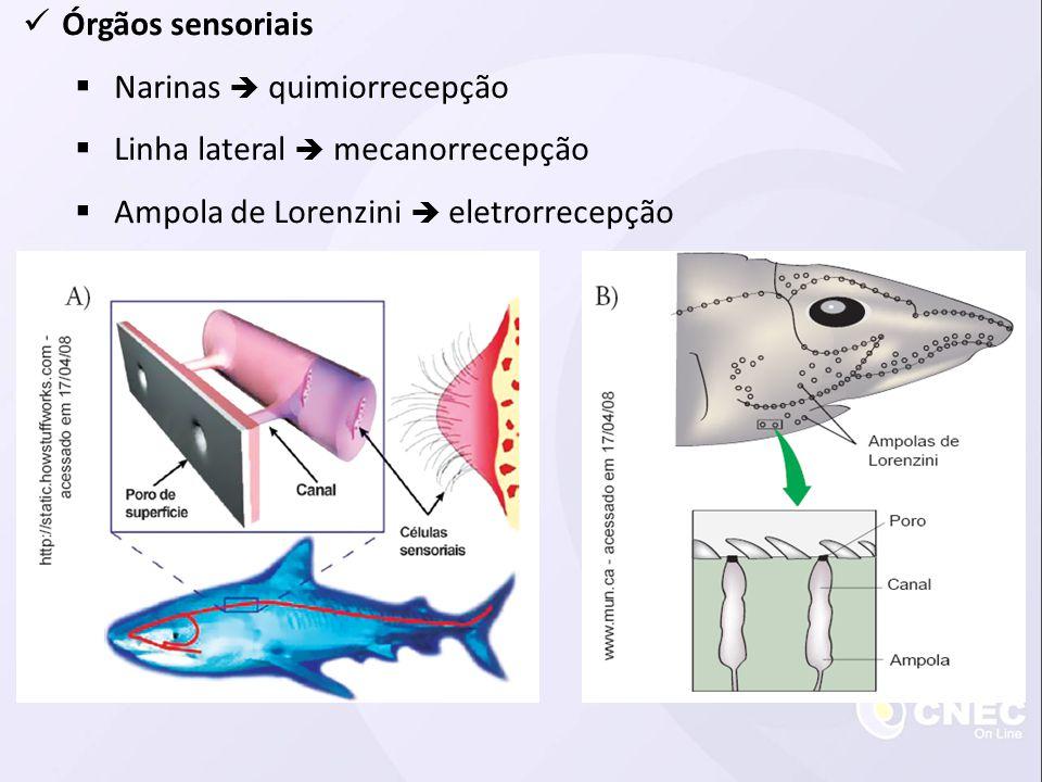 Órgãos sensoriais Narinas  quimiorrecepção. Linha lateral  mecanorrecepção.