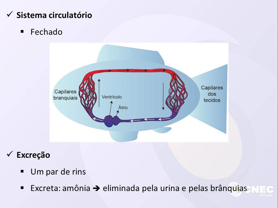 Sistema circulatório Fechado. Excreção. Um par de rins.