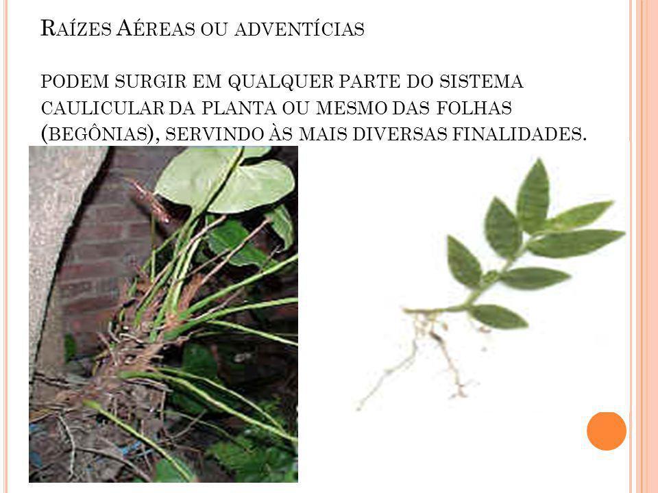Raízes Aéreas ou adventícias podem surgir em qualquer parte do sistema caulicular da planta ou mesmo das folhas (begônias), servindo às mais diversas finalidades.