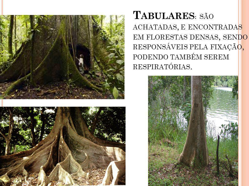 Tabulares: são achatadas, e encontradas em florestas densas, sendo responsáveis pela fixação, podendo também serem respiratórias.