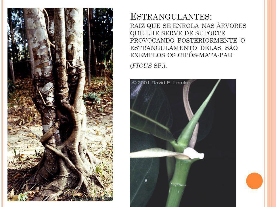 Estrangulantes: Raiz que se enrola nas árvores que lhe serve de suporte provocando posteriormente o estrangulamento delas.