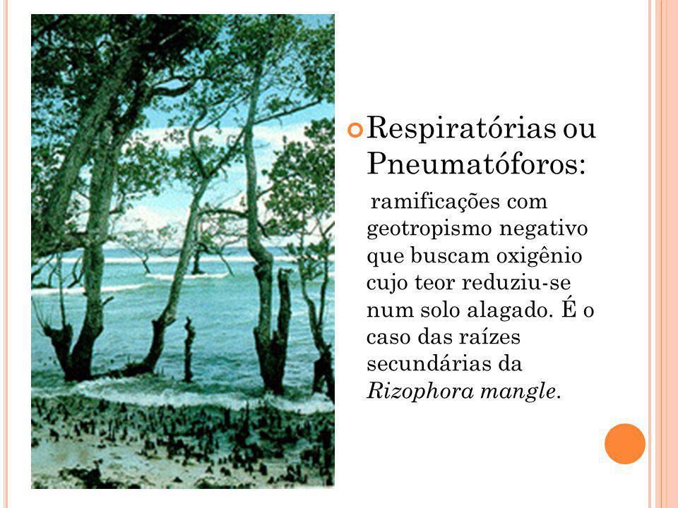 Respiratórias ou Pneumatóforos: