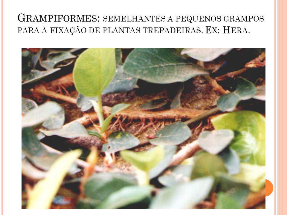 Grampiformes: semelhantes a pequenos grampos para a fixação de plantas trepadeiras. Ex: Hera.