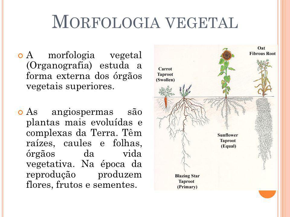 Morfologia vegetal A morfologia vegetal (Organografia) estuda a forma externa dos órgãos vegetais superiores.