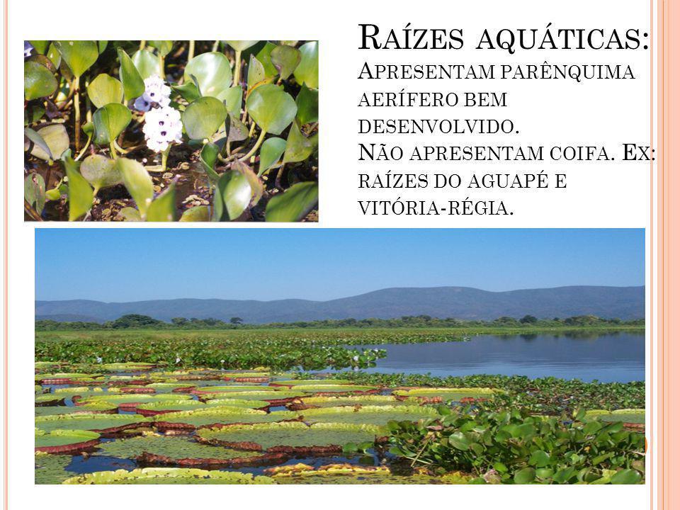 Raízes aquáticas: Apresentam parênquima aerífero bem desenvolvido