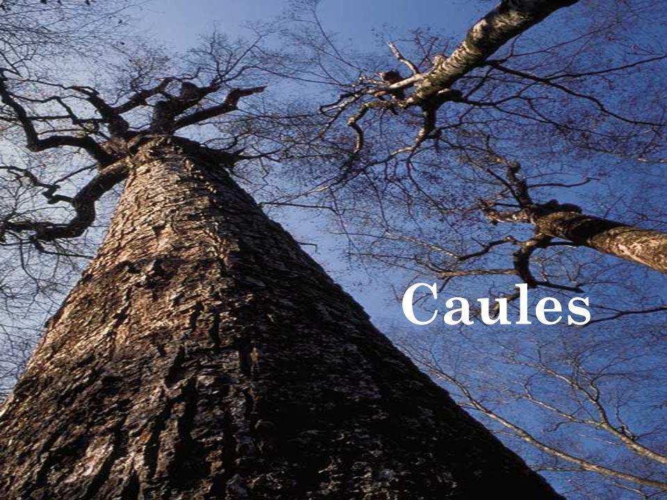 Caules