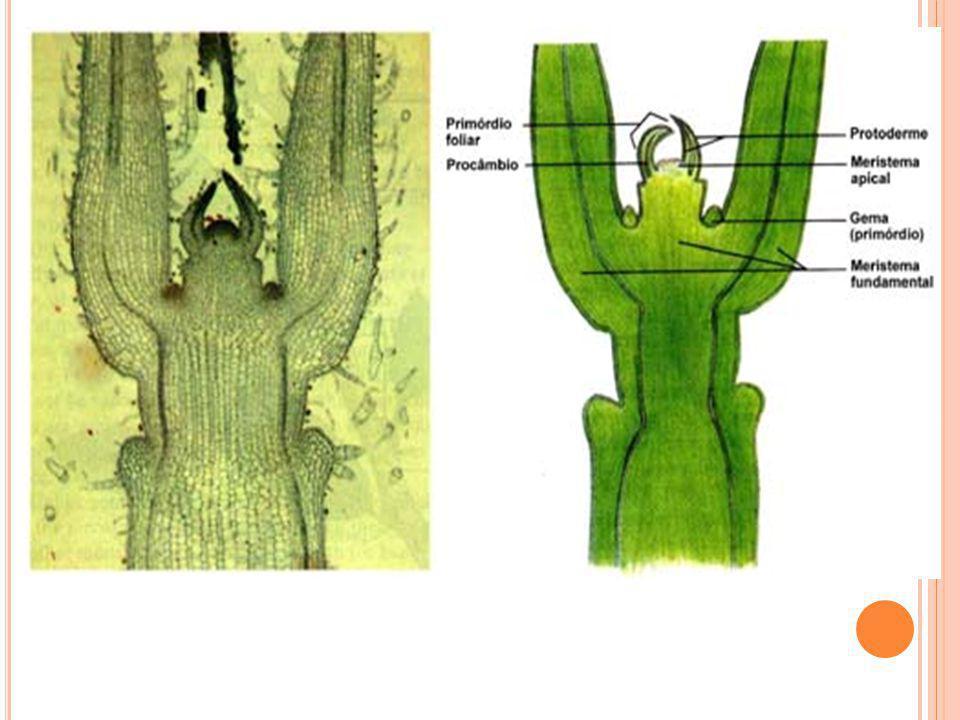 Figura 1. Microfotografia e diagrama do ápice caulinar de Coleus sp