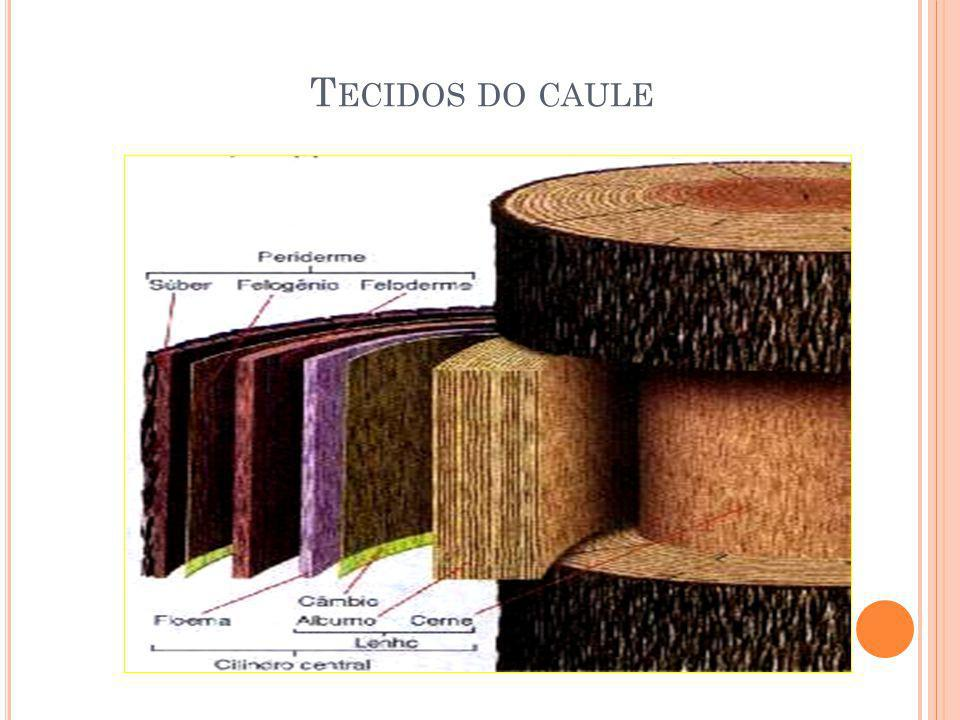 Tecidos do caule