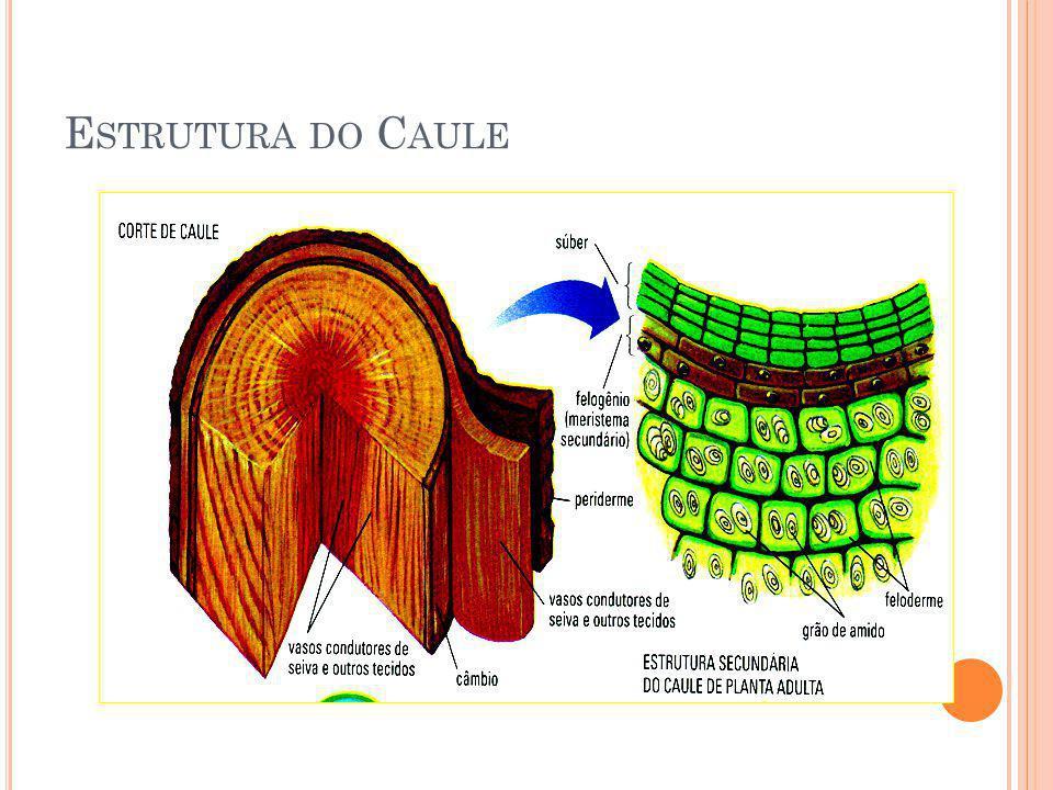 Estrutura do Caule