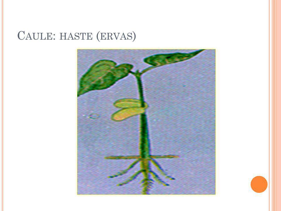 Caule: haste (ervas)