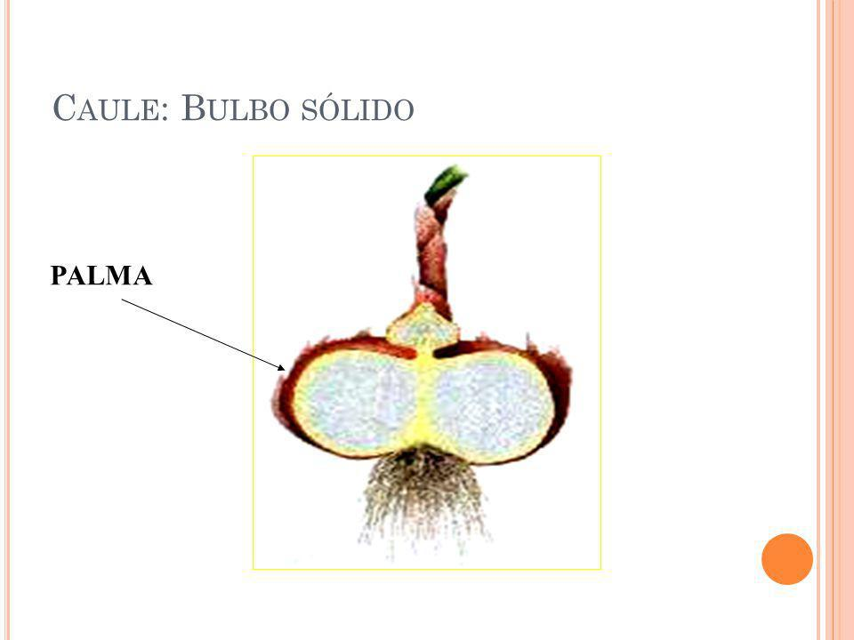 Caule: Bulbo sólido PALMA