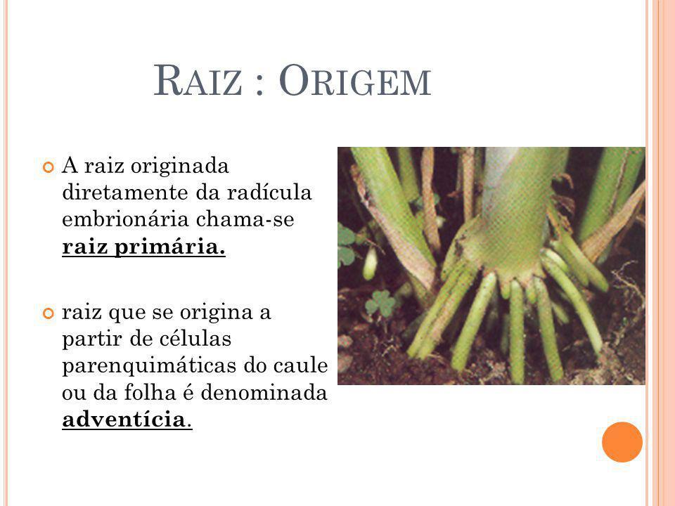 Raiz : Origem A raiz originada diretamente da radícula embrionária chama-se raiz primária.