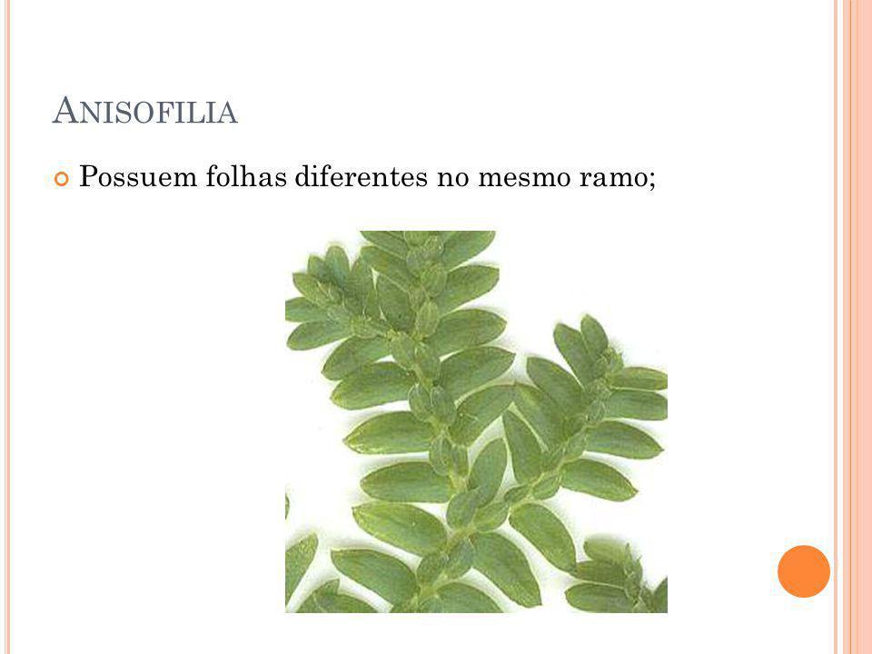 Anisofilia Possuem folhas diferentes no mesmo ramo;
