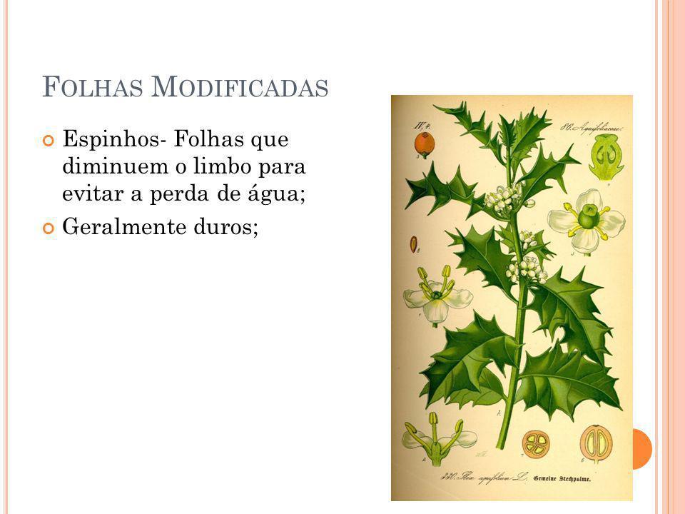 Folhas Modificadas Espinhos- Folhas que diminuem o limbo para evitar a perda de água; Geralmente duros;