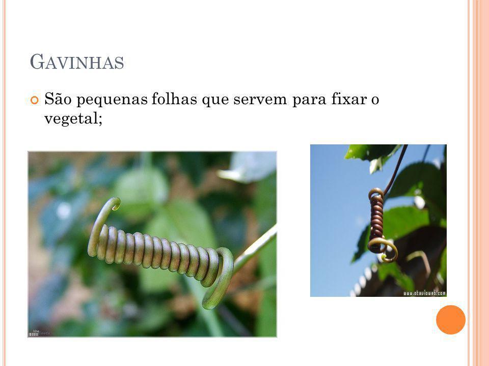 Gavinhas São pequenas folhas que servem para fixar o vegetal;