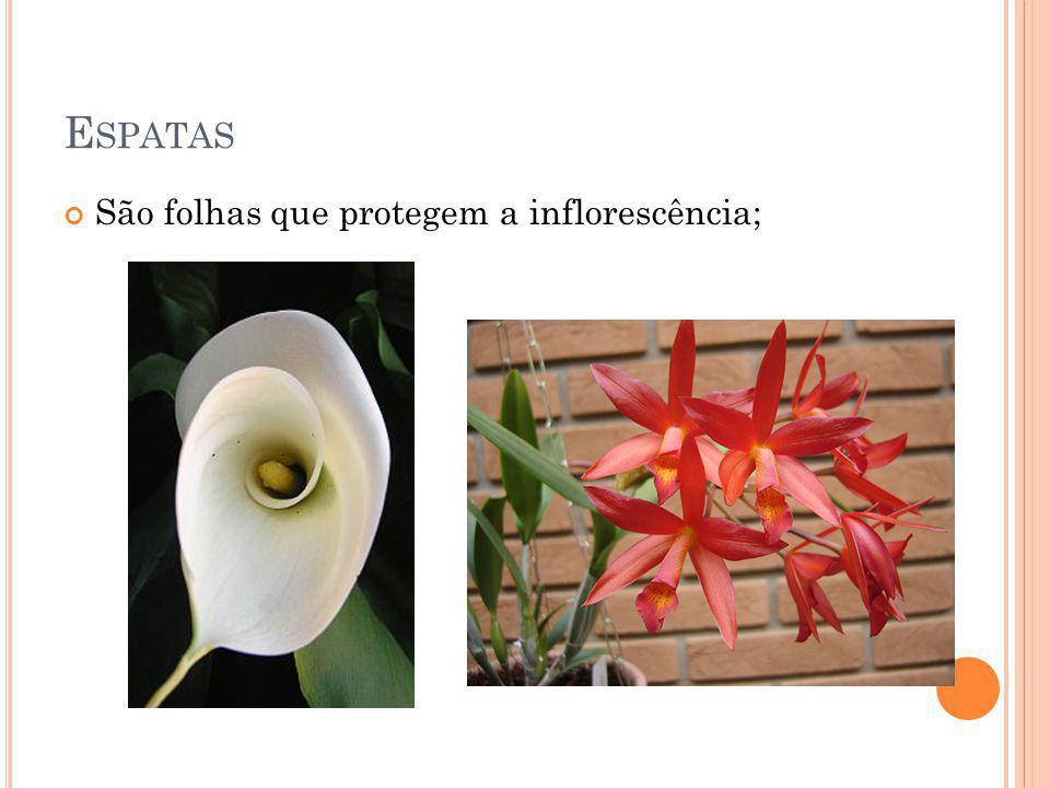 Espatas São folhas que protegem a inflorescência;
