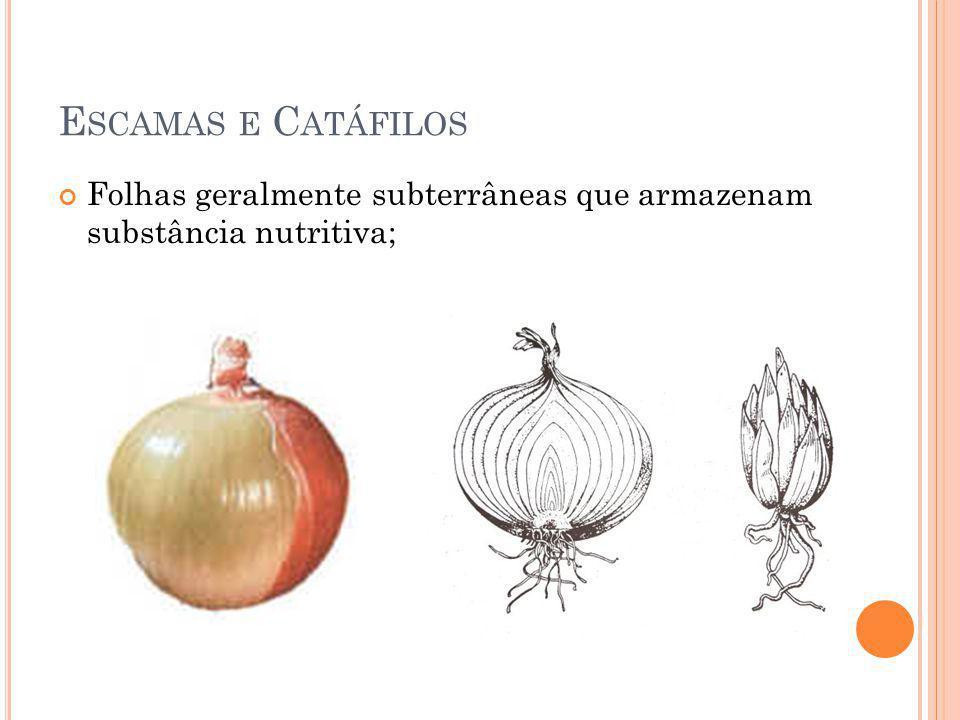 Escamas e Catáfilos Folhas geralmente subterrâneas que armazenam substância nutritiva;