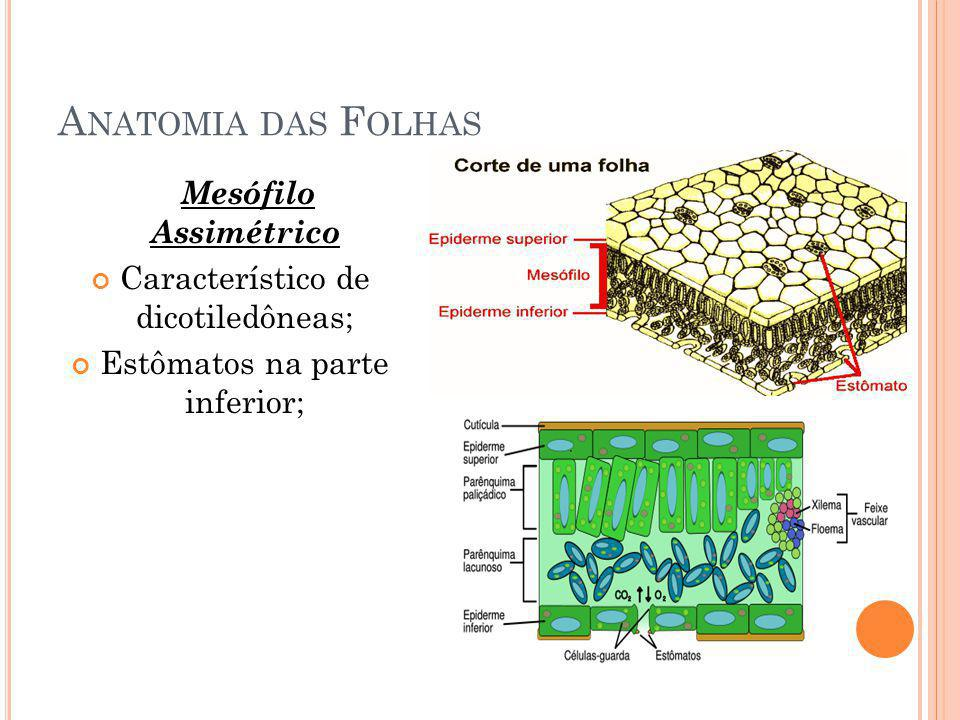 Anatomia das Folhas Mesófilo Assimétrico