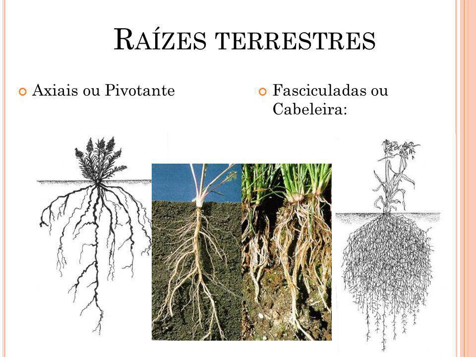 Raízes terrestres Axiais ou Pivotante Fasciculadas ou Cabeleira: