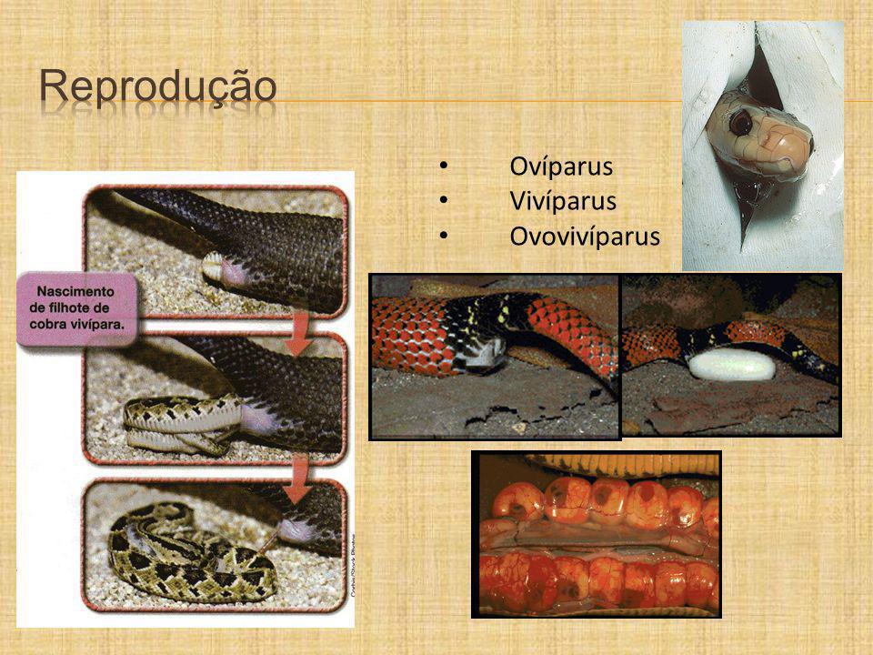 Reprodução Ovíparus Vivíparus Ovovivíparus