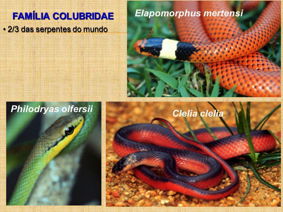 Elapomorphus mertensi FAMÍLIA COLUBRIDAE
