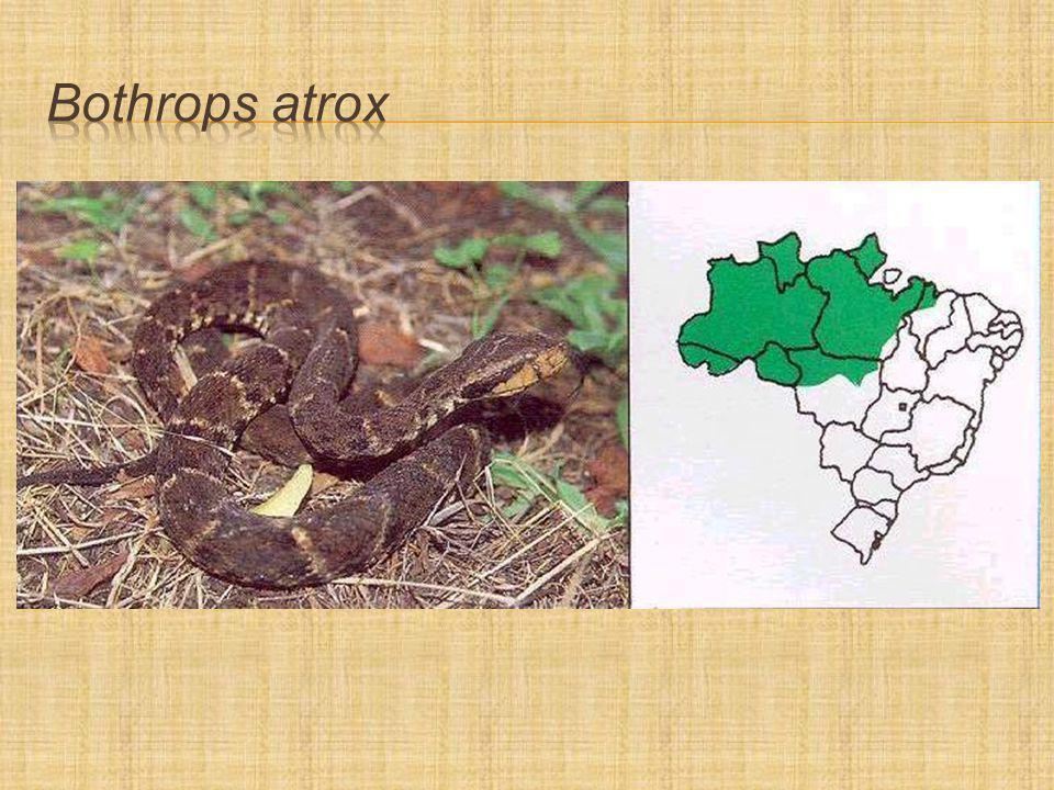 Bothrops atrox