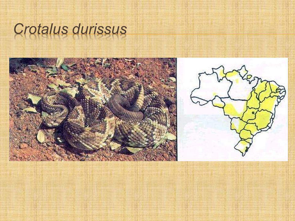 Crotalus durissus