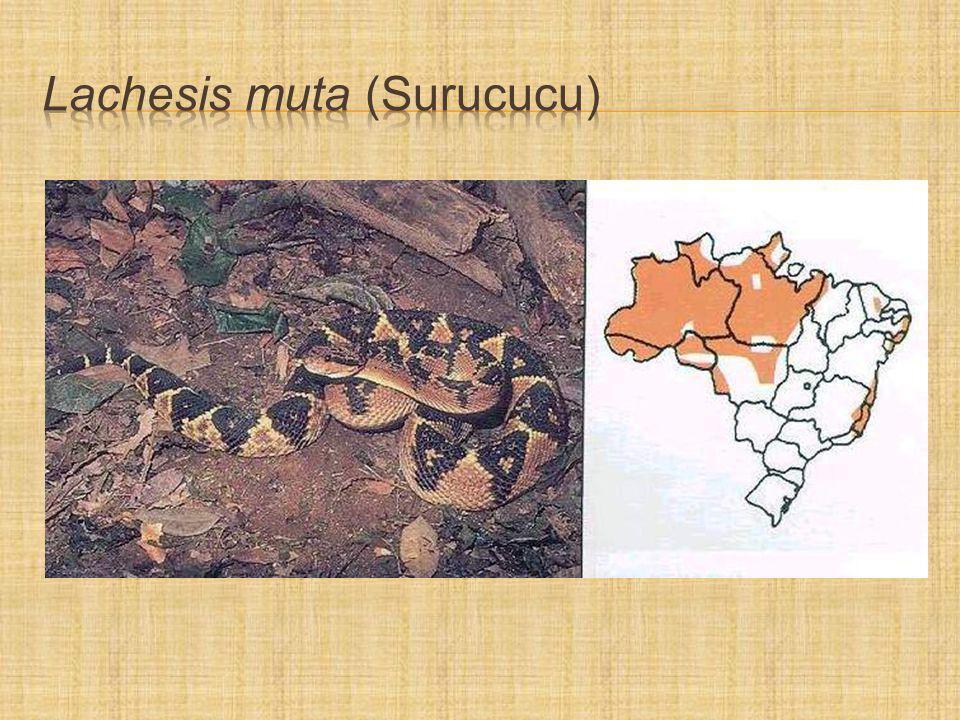 Lachesis muta (Surucucu)
