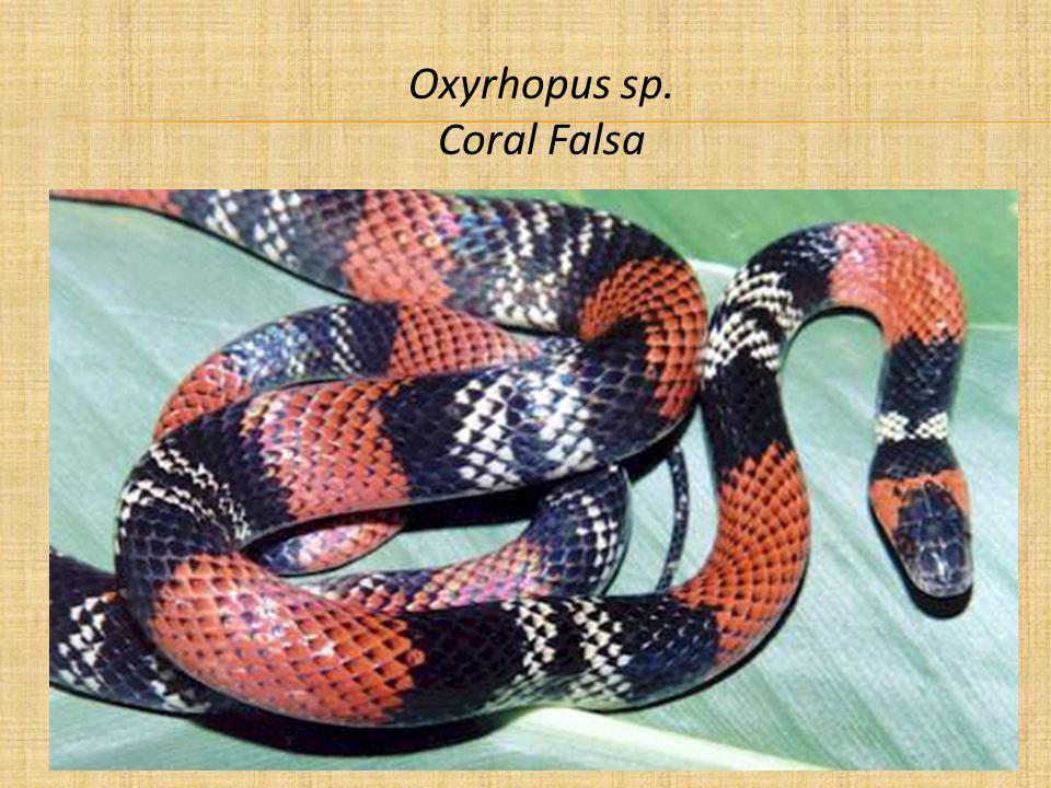 Oxyrhopus sp. Coral Falsa