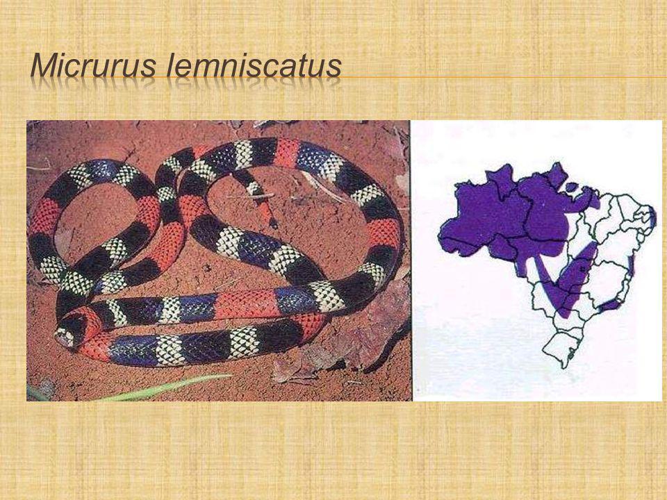 Micrurus lemniscatus