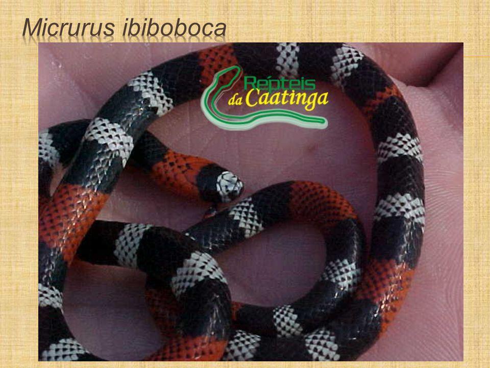 Micrurus ibiboboca