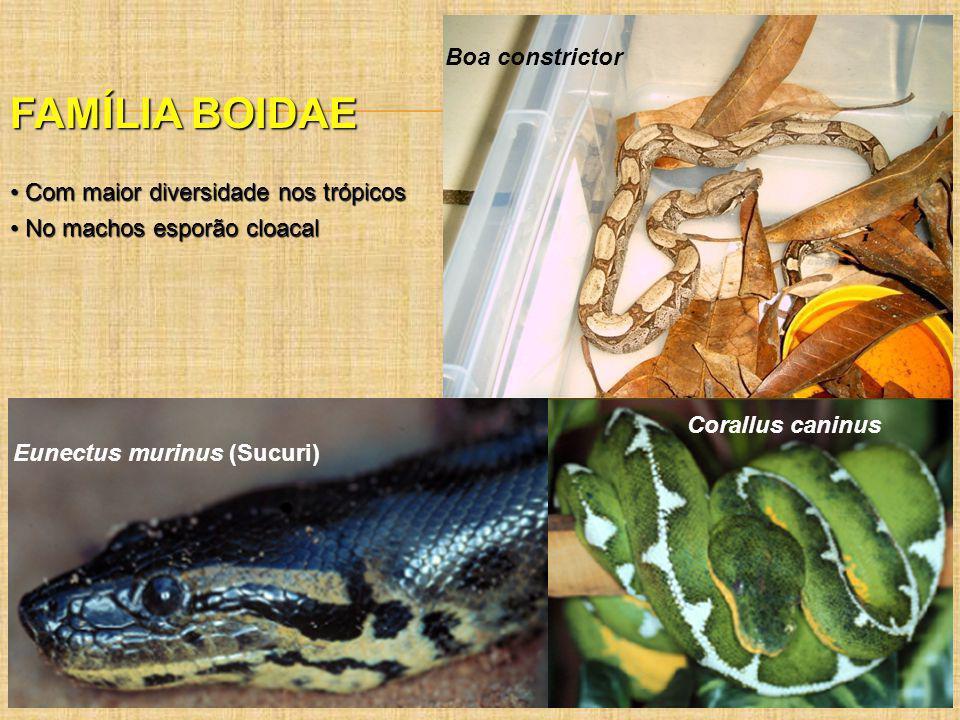 FAMÍLIA BOIDAE Boa constrictor Com maior diversidade nos trópicos