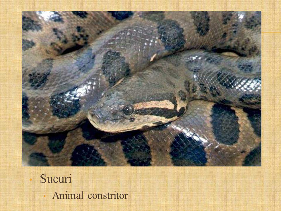 Sucuri Animal constritor